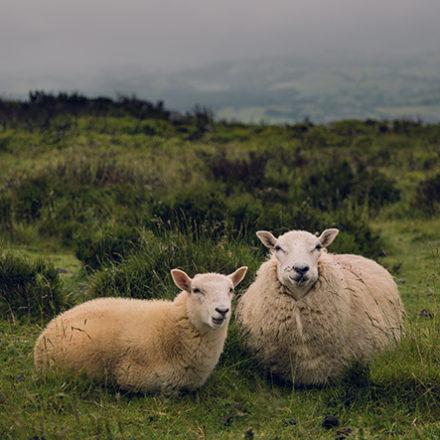 sheep, woodland holidays, technology free holiday
